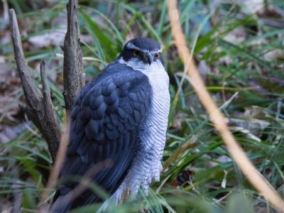 soku_29535.jpg :: 動物 鳥 猛禽類 大鷹 オオタカ