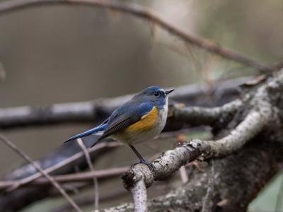 soku_29549.jpg :: 動物 鳥 野鳥 自然の鳥 ルリビタキ