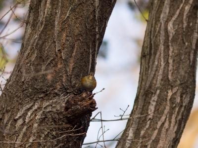 soku_29602.jpg :: 動物 鳥 野鳥 自然の鳥 ルリビタキ メス
