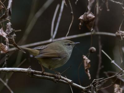 soku_29630.jpg :: 動物 鳥 野鳥 自然の鳥 ウグイス 鶯