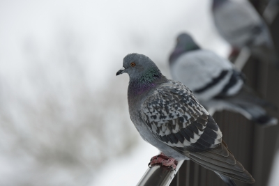 soku_29640.jpg :: 動物 鳥 鳩 ハト