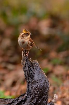 soku_29647.jpg :: 動物 鳥 野鳥 自然の鳥 ミヤマホオジロ