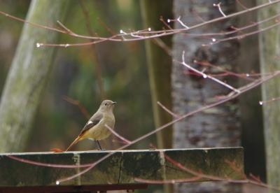 soku_29652.jpg :: 野鳥 鳥 小鳥 ジョウビタキ
