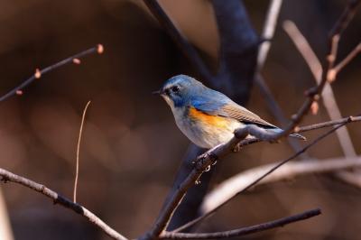 soku_29655.jpg :: 動物 鳥 野鳥 自然の鳥 ルリビタキ