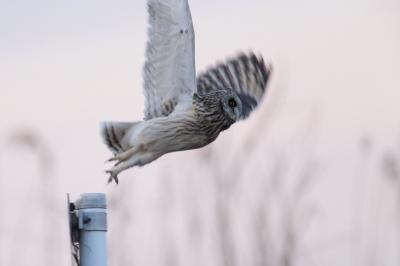 soku_29661.jpg :: 動物 野鳥 コミミズク
