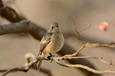 soku_29663.jpg :: 動物 鳥 野鳥 自然の鳥 ジョウビタキ