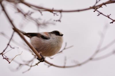 soku_29665.jpg :: 動物 鳥 野鳥 自然の鳥 エナガ