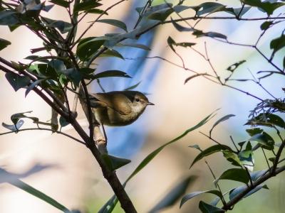 soku_29666.jpg :: 動物 鳥 野鳥 自然の鳥 ウグイス 鶯