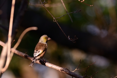 soku_29671.jpg :: 動物 鳥 野鳥 自然の鳥 オオカワラヒワ