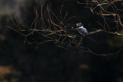 soku_29686.jpg :: 動物 野鳥 ヤマセミ