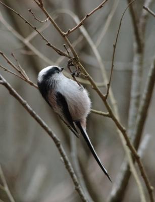 soku_29694.jpg :: 野鳥 小鳥 エナガ 動物