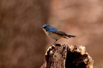 soku_29695.jpg :: 動物 鳥 野鳥 自然の鳥 ルリビタキ