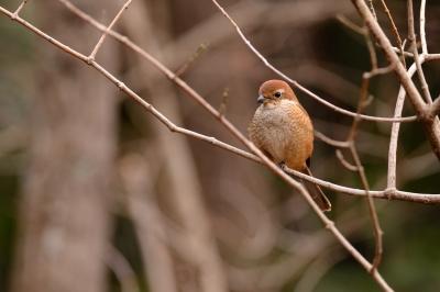 soku_29697.jpg :: 動物 鳥 野鳥 自然の鳥 モズ
