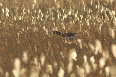 soku_29698.jpg :: 動物 野鳥 ハイイロチュウヒ