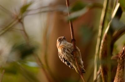 soku_29703.jpg :: 動物 鳥 野鳥 自然の鳥 コゲラ