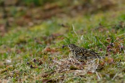 soku_29704.jpg :: 動物 鳥 野鳥 自然の鳥 トラツグミ