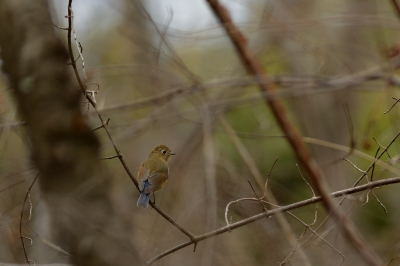 soku_29705.jpg :: 動物 鳥 野鳥 自然の鳥 ルリビタキ