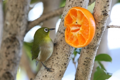 soku_29708.jpg :: 動物 鳥 野鳥 自然の鳥 メジロ