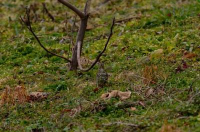 soku_29710.jpg :: 動物 鳥 野鳥 自然の鳥 トラツグミ