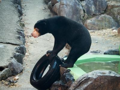 soku_29713.jpg :: 動物 哺乳類 熊 マレーグマ