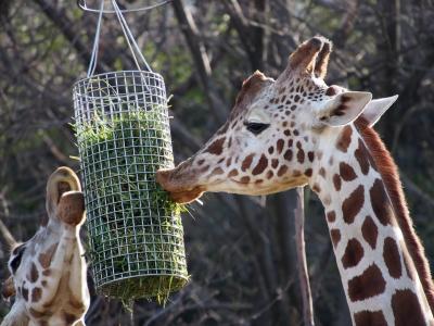 soku_29715.jpg :: 動物 哺乳類 キリン