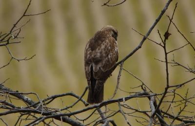 soku_29728.jpg :: 動物 鳥 野鳥 自然の鳥 ノスリ?