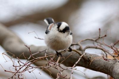 soku_29753.jpg :: 動物 鳥 野鳥 自然の鳥 エナガ