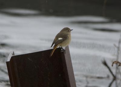 soku_29799.jpg :: 動物 鳥 野鳥 自然の鳥 ジョウビタキ 鉄骨
