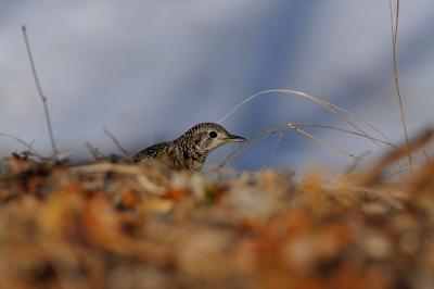 soku_29807.jpg :: 動物 鳥 野鳥 自然の鳥 トラツグミ