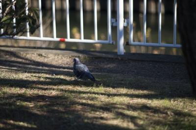 soku_29817.jpg :: 鳥 動物 鳥 鳩 ハト