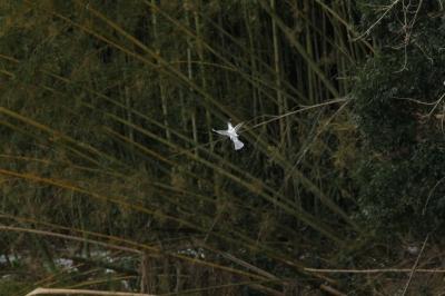 soku_29887.jpg :: 動物 野鳥 ヤマセミ
