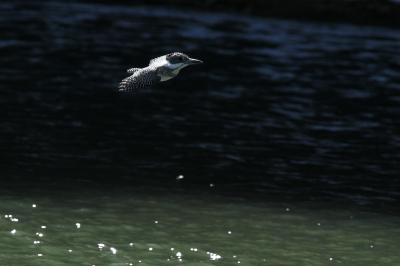 soku_29888.jpg :: 動物 野鳥 ヤマセミ