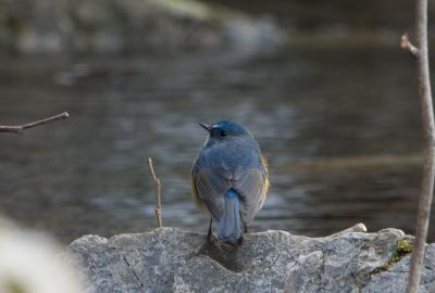 soku_29890.jpg :: 動物 鳥 野鳥 自然の鳥 ルリビタキ