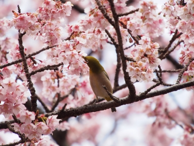 soku_29925.jpg :: 植物 花 桜 サクラ 寒桜 鳥 メジロ
