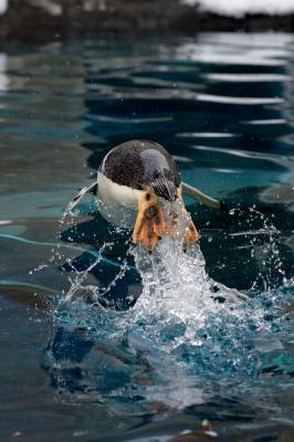 soku_29931.jpg :: 動物 鳥 ジェンツーペンギン 動物園 旭山動物園