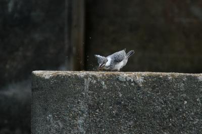 soku_29935.jpg :: 動物 野鳥 ヤマセミ