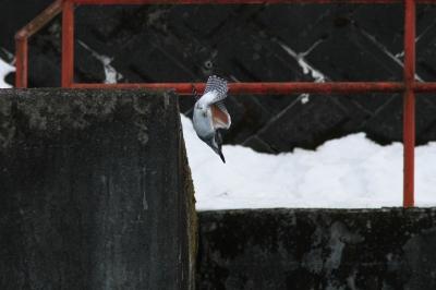 soku_29947.jpg :: 動物 野鳥 ヤマセミ
