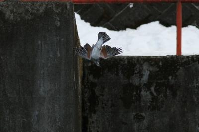 soku_29948.jpg :: 動物 野鳥 ヤマセミ