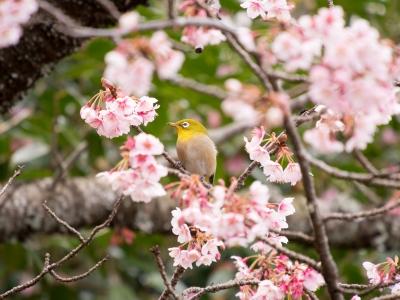 soku_29950.jpg :: 植物 花 鳥 メジロ