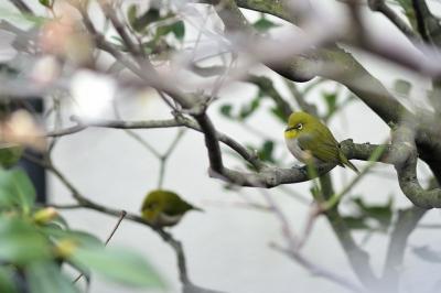 soku_29975.jpg :: 動物 鳥 野鳥 自然の鳥