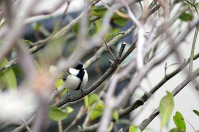 soku_29976.jpg :: 動物 鳥 野鳥 自然の鳥