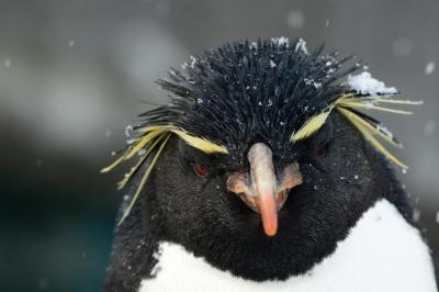 soku_29985.jpg :: 動物 鳥 イワトビペンギン 動物園 旭山動物園