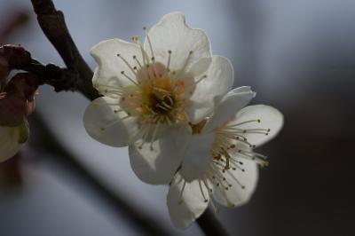 soku_29993.jpg :: 植物 花 梅 ウメ