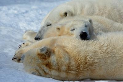 soku_29999.jpg :: 動物 哺乳類 熊 ホッキョクグマ シロクマ 円山動物園 ララ ポロロ マルル