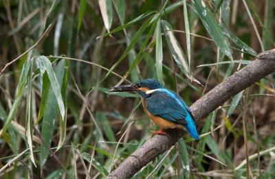 soku_30020.jpg :: 動物 鳥 野鳥 自然の鳥 カワセミ