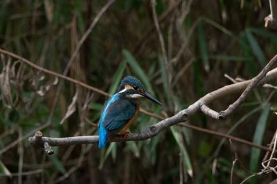 soku_30022.jpg :: 動物 鳥 野鳥 自然の鳥 カワセミ