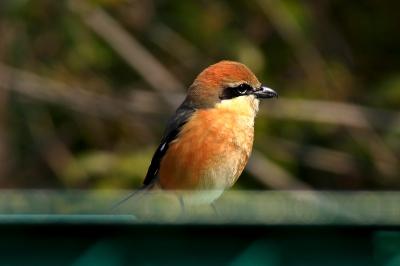 soku_30031.jpg :: 動物 鳥 野鳥 自然の鳥 未記入鳥