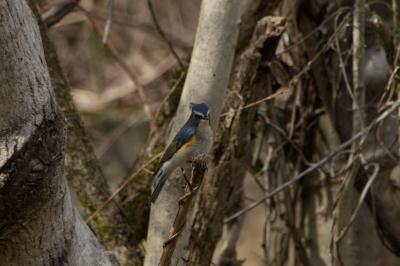soku_30062.jpg :: 動物 鳥 野鳥 自然の鳥 ルリビタキ