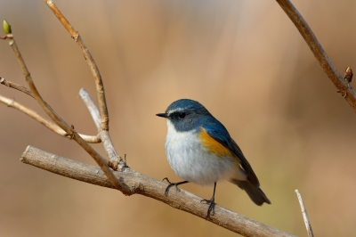 soku_30063.jpg :: 動物 鳥 野鳥 自然の鳥 ルリビタキ