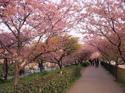 soku_30083.jpg :: 植物 花 桜 サクラ並木